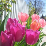<b>My favourite flower? Tulips!</b>